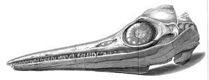 AnningIchthyosaurSkull