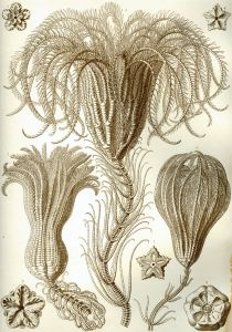 Ernst Haeckel [Public domain], via Wikimedia Commons