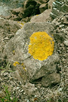 Lichens love lime-rich slag