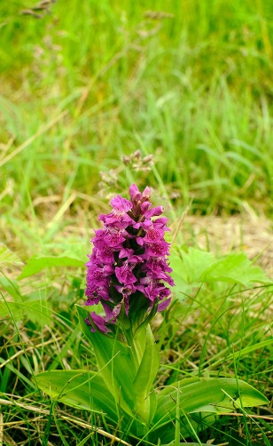 The Northern Marsh Orchid is not uncommon in this area