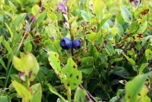 Herd Howe Bilberries
