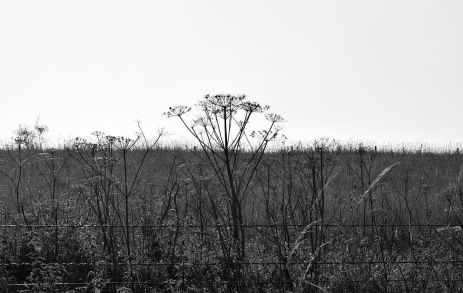 hogweed