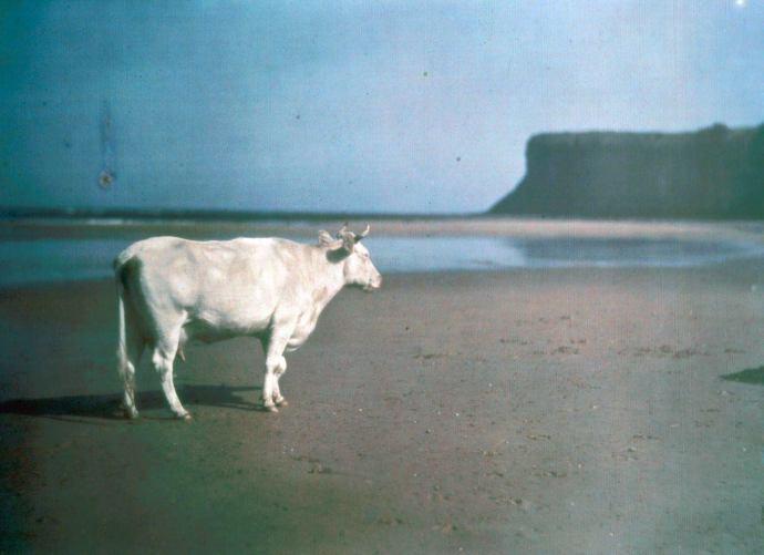Cows on Saltburn Beach i