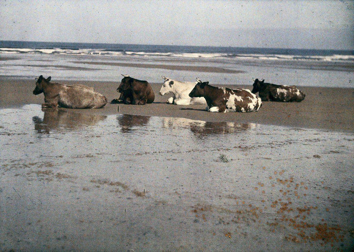 Cows on Saltburn Beach